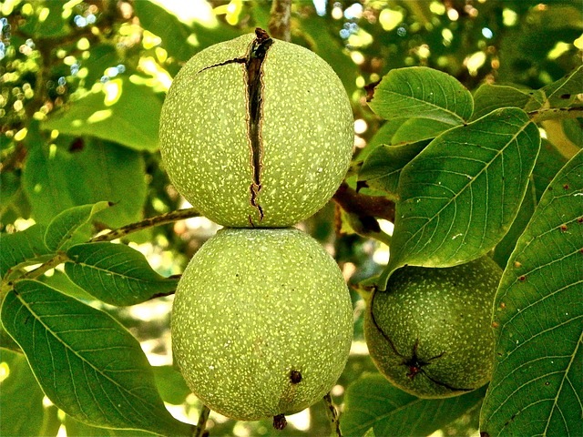 ořechy na stromě